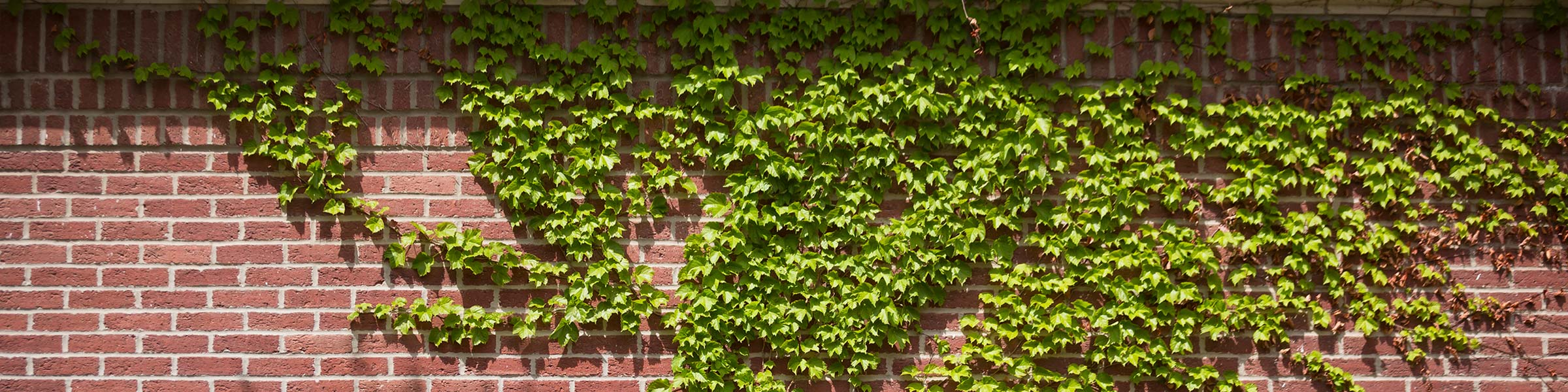 Ivy growing on building at Creighton University in Omaha, Nebraska